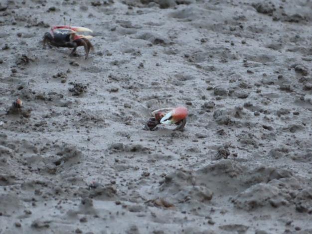 頭前溪近出海口舊港島泥灘上可觀賞到彈塗魚來回穿梭景象_圖示